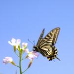 アゲハ蝶の種類!日本に生息するアゲハ蝶は?