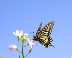 アゲハ蝶 日本 種類