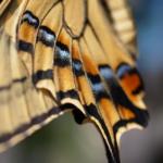 アゲハ蝶の羽の構造について!どうしてチョウの羽には模様があるの?