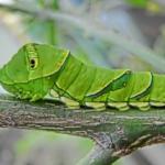 アゲハチョウの幼虫の飼育!方法や餌は?