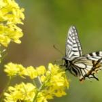 アゲハチョウの成虫!飼育方法や餌について!