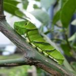 アゲハ蝶が柑橘類の木に寄ってくる!駆除や対策方法は?