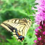 アゲハチョウのキレイな模様には意味があるの!?
