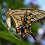 アゲハ蝶を見るスピリチュアルな意味は!?