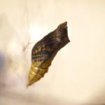アゲハチョウの蛹!越冬するかしないかどうやって分かるの?