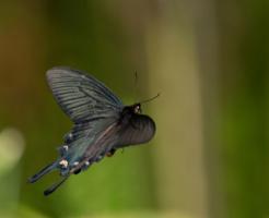 ジャコウアゲハ 幼虫 毒