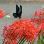 カラスアゲハの幼虫の色や特徴は?見分け方について!