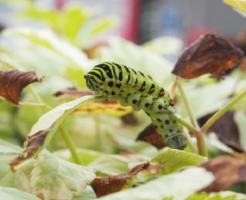 キアゲハ 幼虫 時期 前蛹 期間 脱皮