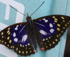 オオムラサキ 国蝶 大紫