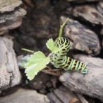 キアゲハの幼虫の食草は何!?農薬は大丈夫なの?