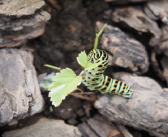 キアゲハ 幼虫 食草 パセリ 農薬