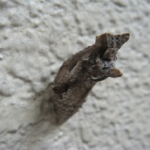 アゲハ蝶の蛹の色が変色!?原因は?