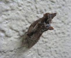 アゲハ蝶 蛹 変色