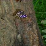 スズメバチがオオムラサキから逃げる!なぜ!?
