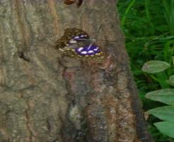 オオムラサキ スズメバチ