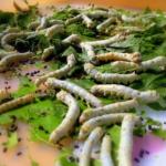 抹茶やガムの緑色は蚕の糞が使われているって本当!?