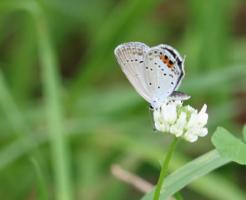 ツバメシジミ 幼虫 特徴