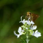 チャイバネセセリの幼虫と蛹!特徴は?