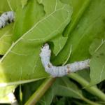 蚕が宇宙で食用昆虫として使われる!?