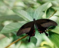 オナガアゲハ 幼虫 特徴 見分け方