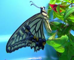 アゲハ蝶 日本