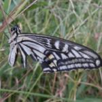 アゲハ蝶が飛ばない原因は何!?対策方法は?