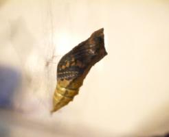 アゲハ蝶 蛹 種類